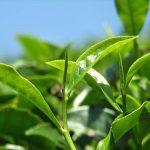 درباره خواص چای سبز بیشتر بدانید